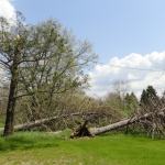Two trees blown down, one snapped at 2430 W. Predmore, Oakland Township.