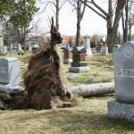 Fallen tree between two headstones in Evergreen Cemetery, Lake Orion.