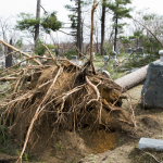 A tree fallen between two gravestones in Evergreen Cemetery, Lake Orion.