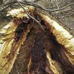 Inside of a split tree in Evergreen Cemetery