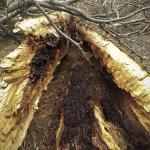 Inside of a split tree in Evergreen Cemetery