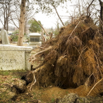 Uprooted tree near a headstone (Buesser) in Evergreen Cemetery