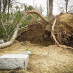 Uprooted tree near several gravestones in Evergreen Cemetery
