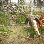 Snapped tree in Evergreen Cemetery