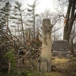 Several broken / fallen trees surrounding Howarth tree headstone
