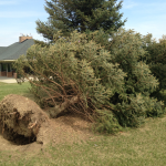 downed tree at Friendship Park, Orion Township.